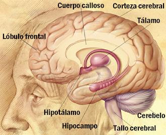 Estructura del cerebro